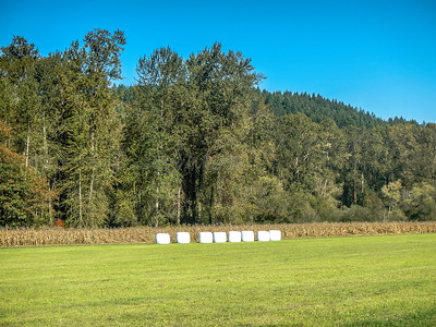 Almost harvest time for the giant Mashmellows.Almost harvest time for the giant Mashmallows. Snohomish, WA 10-03-2015