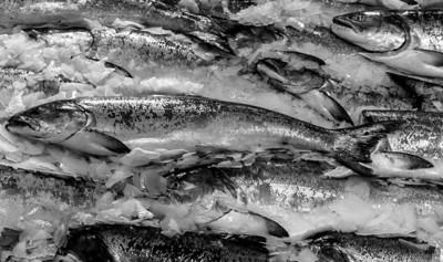 Chinook Salmon on ice. Pike Place Market  Seattle, WA 06-14-2015
