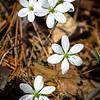 White Hepatica