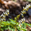 Dutchman's Breeches or Squirrel Corn