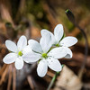 Wide Lobed Hepatica