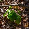 Wake Robin Trillium (Unblossomed)