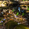 Different Varieties of Hepatica