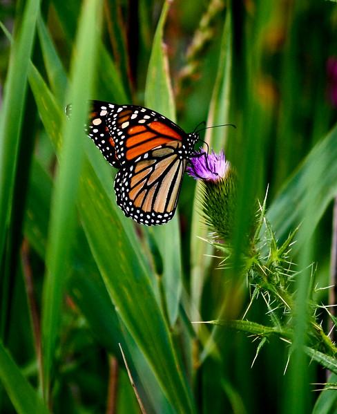 Monarch & Thistle