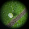 Microscopic Photo of Monarch Egg