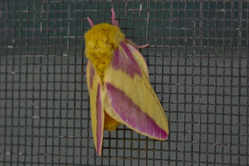 Rosey Maple Moth