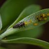 Ladybug Larvae Eating Aphids