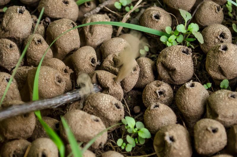 Puff Ball Mushrooms