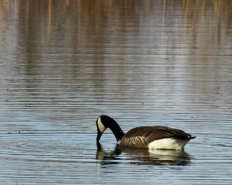 Canadian Goose on Plains Road