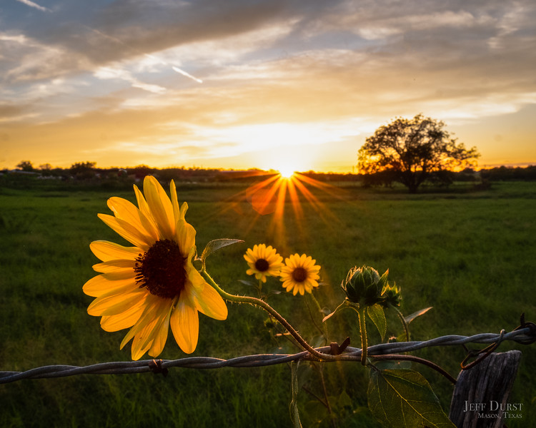 Sunflower Fence Sunset Square-1