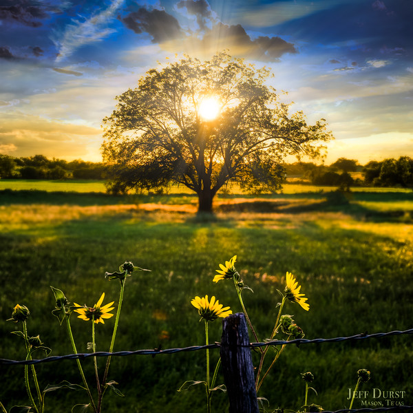 Sunset Tree and Yellow Flowers Square 2018-1