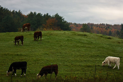 Cows on a hill in Cambridge, VT