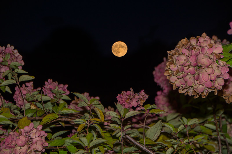 Supermoon Over Hydrangea