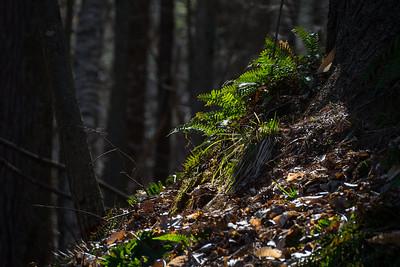 Ferns On A Hill