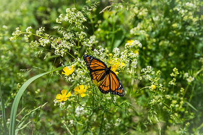 Viceroy On Bedstraw