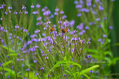 Coppers & Blue Vervain