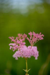 Queen Of The Prairie flowers