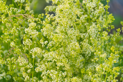 White Bedstraw