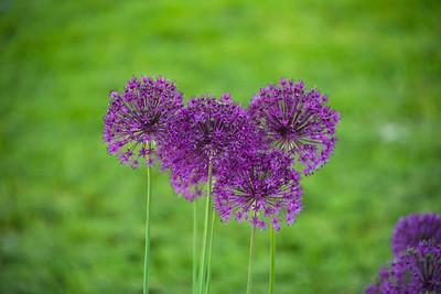 Allium Blossoms