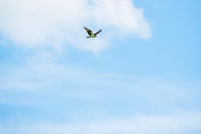 Osprey at Shelburne Farms