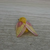 Rosey Maple Moth