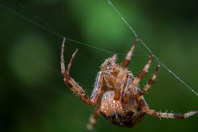European Cross Spider