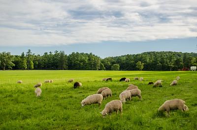 Sheep at Shelburne Farms