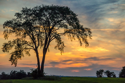 Elm Tree in Franklin, VT