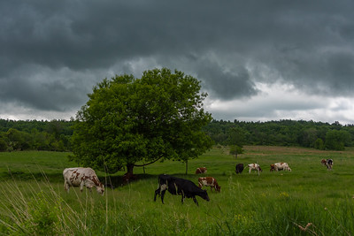 Cows Before The Storm