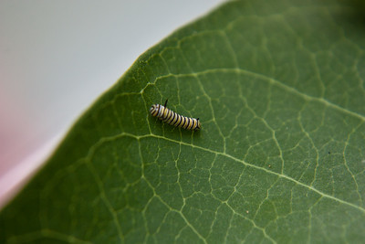 1st instar Monarch Caterpillar