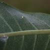 Monarch Egg on Milkweed