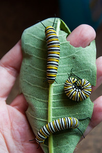 Three Adult Caterpillars
