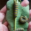 Three Adult Caterpillars