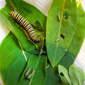 Multiple Instars of Monarch Caterpillars