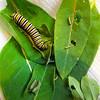 Multiple Instars of Monarch Caterpillars