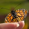 Monarch Face