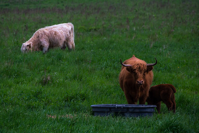 Scottish Highlander Cows