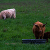 Scottish Highlander Cows