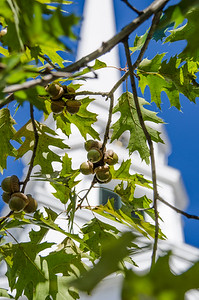 Acorns In Front Of Church