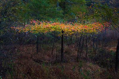 Black Gum in Fall Color