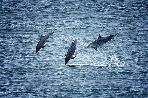 """The 3 Amigos"".  Dolphins playing and jumping. 4th of July, 2010. Aptos, CA"