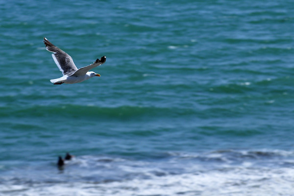 A seagull takes flight over the ocean. Seacliff State Beach, Aptos, CA.