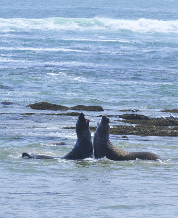 Elephant Seals fighting for dominance at Ano Nuevo State Reserve, Northern California Coastline.
