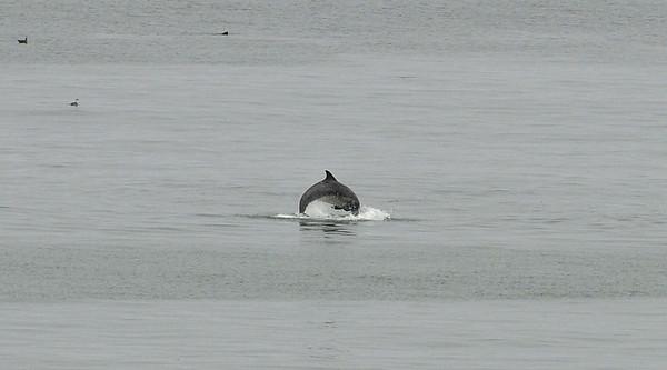 A dolphin feeling playful on a summer morning. Aptos, CA.