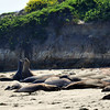 Elephant Seals resting on the beach (while 2 seals mock-fight in the background).  Ano Nuevo State Reserve, Northern California Coastline.