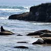 Elephant Seals resting on the beach at Ano Nuevo State Reserve, Northern California Coastline.