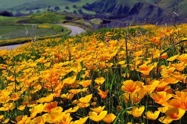 Sierra Nevada Foothills covered in vibrant yellow and orange California Poppies.