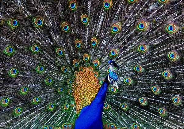 """""""Pretty Peacock"""".  Wild peacock displays colors in Sierra Nevada foothills."""