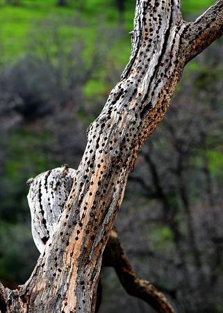 A woodpecker's favorite tree. Sierra Nevada foothills, CA.