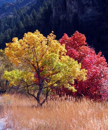 Yellow & Red Tree.  Fall colors, Logan Canyon, UT